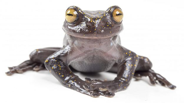 Newly discovered treefrog in Ecuador, Report