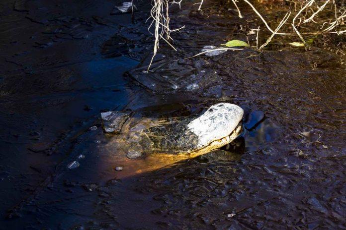 North Carolina alligators frozen in swamp waters (Photo)