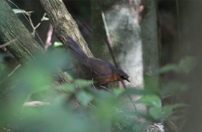 Rarest bird in the world found in Brazil