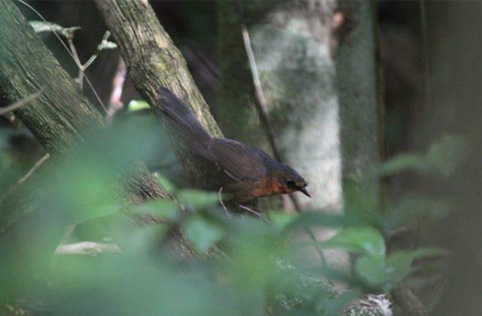 Rarest bird in the world found in Brazil
