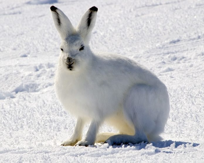 Snowshoe hares eat meat, other hares and even lynx