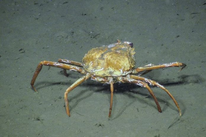 B.C. crabs seen feasting on methane, adapting to climate change
