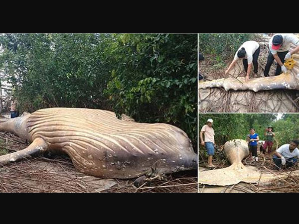 Humpback whale found dead in Brazil's Amazon jungle (Watch)