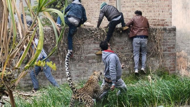 Leopard rampage in India, injures four (Video)