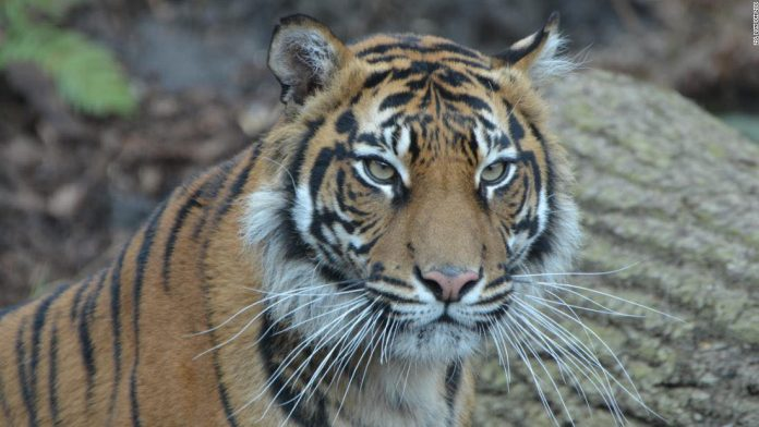 London Zoo tiger killed by potential mate, Report