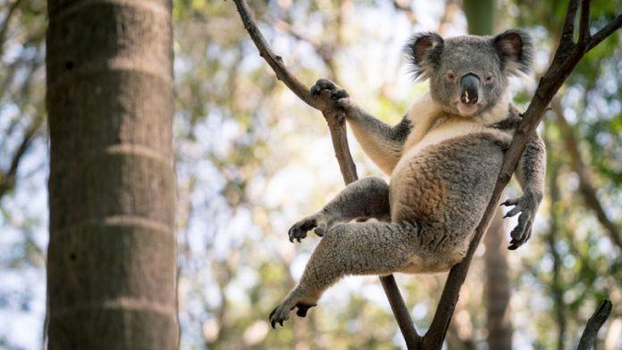 Sexy Koala Viral Video: World's most 'seductive' koala