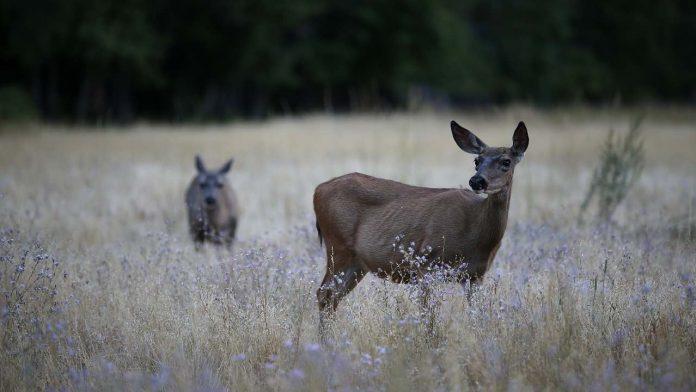 'Zombie deer disease' in Canada, hits wildlife in 24 states