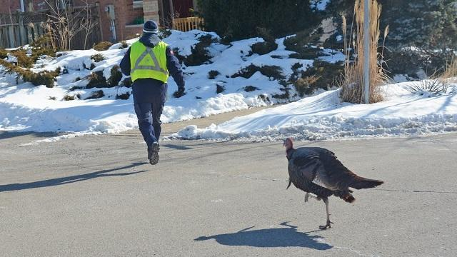 Canada Post worker chased down by wild turkey in Mississauga (Watch)