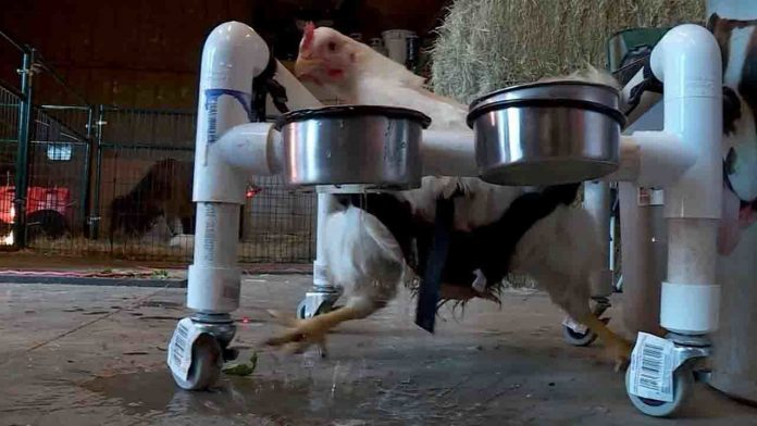 Chicken fitted with 'wheelchair' so it can walk (Photo)