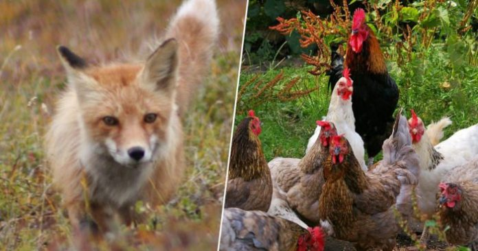Chickens gang up on fox to death on French farm (Reports)