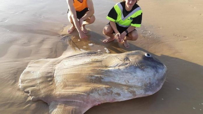 Giant sunfish washes up on beach in South Australia (Picture)