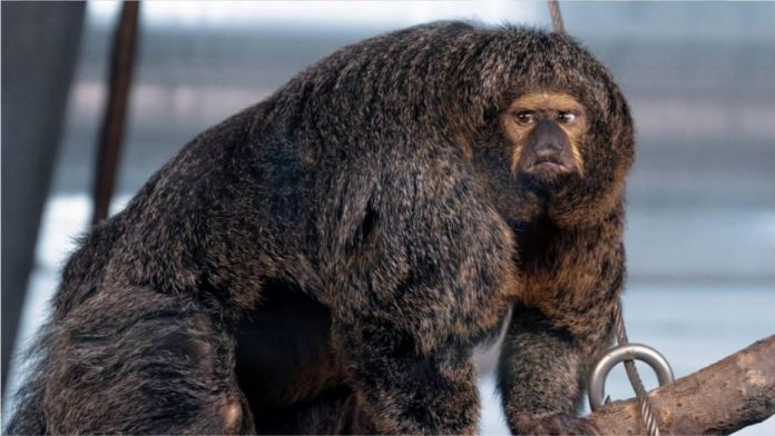 Muscular monkey SHOCKS punters at zoo in Finland