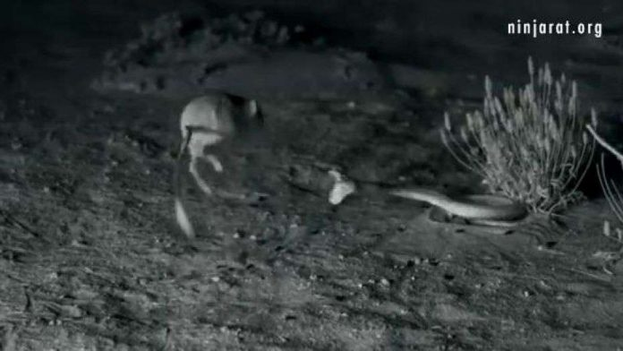'Ninja' kangaroo rat destroys rattlesnake in epic battle (Video)