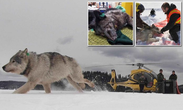 Wolves airdropped into US to tackle moose problem (Reports)