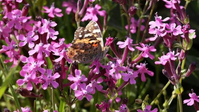 Butterflies swarm Lebanon in numbers unseen for 100 years (Reports)