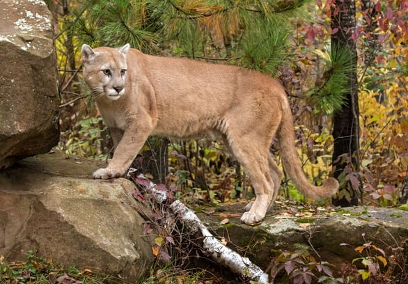 Child mauled by 2 cougars in Lake Cowichan