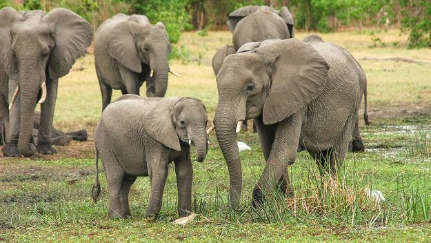 Elephant kills poacher and his accomplices arrested for poaching (Reports)