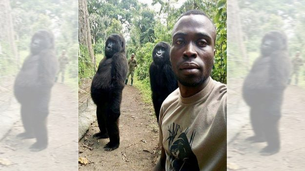 Gorillas pose for selfie with park ranger (Photo)