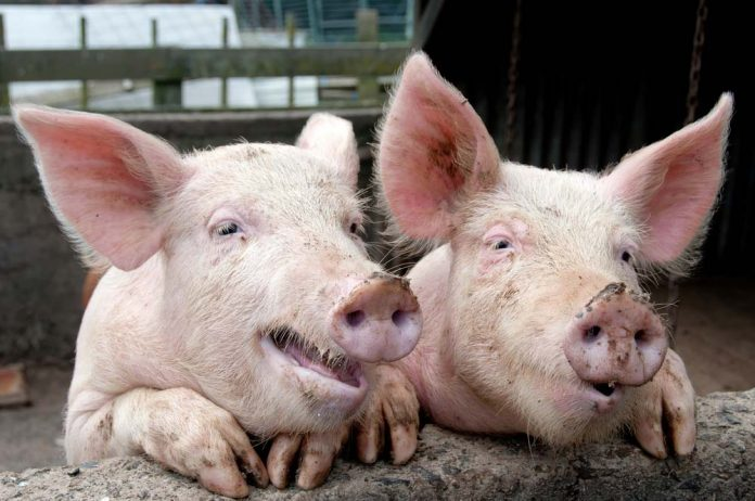 Scientists 'reboot' pig brains hours after animals died