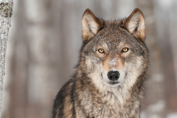 Wolves return to the Netherlands for first time in 140 years (Reports)