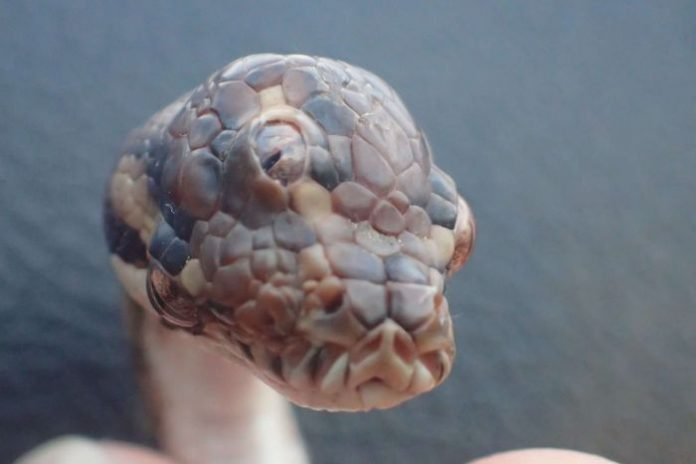 Three-eyed snake found in Australia's Humpty Doo (Photo)