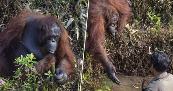 Orangutan in Borneo offers its hand to 'rescue' a man (Picture)
