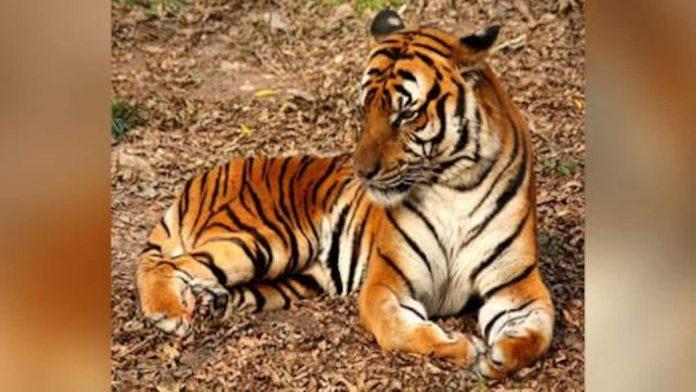 Coronavirus USA Update: Bronx Zoo tiger has COVID-19