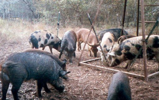 Report: US has 'out of control' population of 'super-pigs'