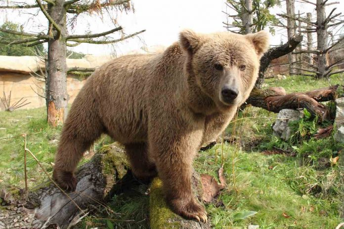 Brown bear species threatened with extinction