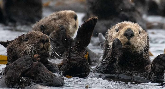 Sea otters return with a worrying vengeance in BC