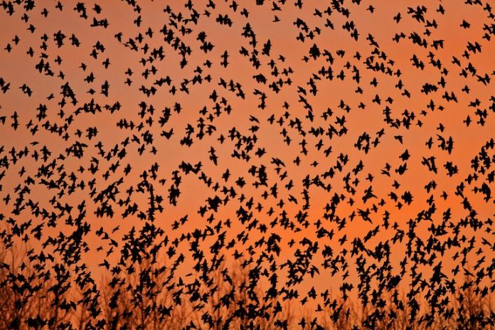 The Murmurations of Starlings: When and where to see the birds' incredible display