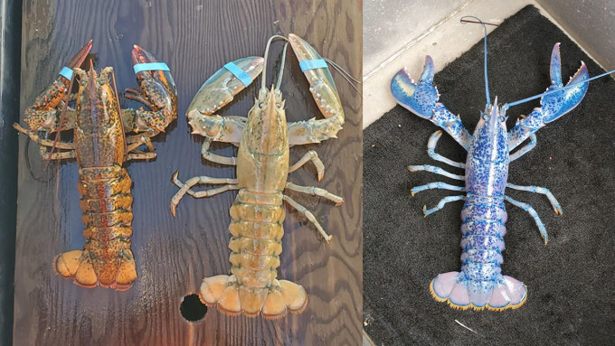 Trio Of Rare, Colorful Lobsters Caught this season (Photo)