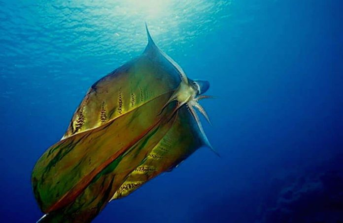 Watch: The spectacular female 'Blanket Octopus' was seen unfurling its stunning, fleshy cape