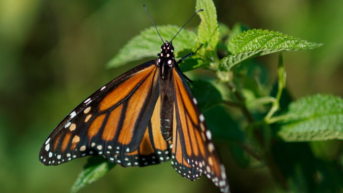 Feds to delay seeking legal protection for monarch butterfly (Reports)