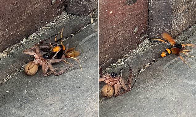 Huntsman Spider Duels with Wasp