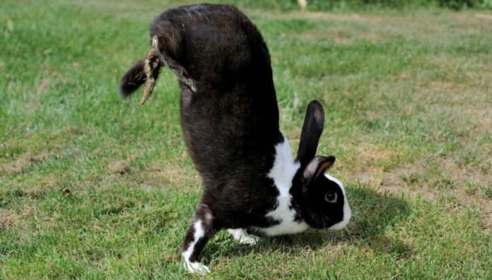 Rabbits walk on two legs? Scientists think they've found the genetic reason why